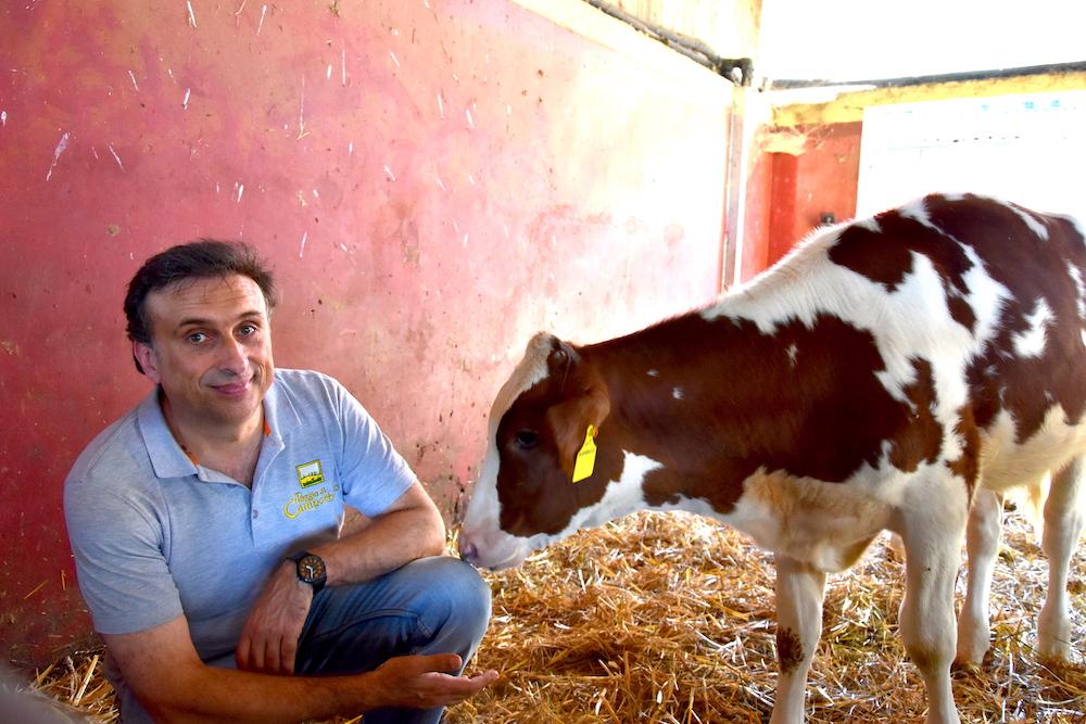 Poggio di Camporbiano-mucca