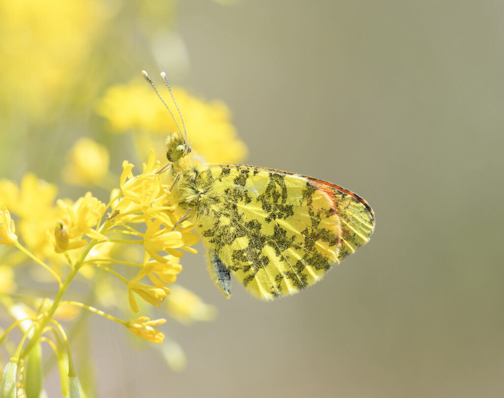 mappatura delle farfalle europee